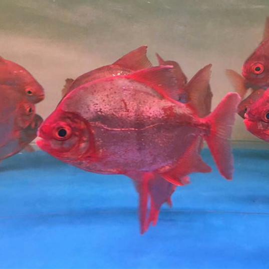 云浮玫瑰银版鱼