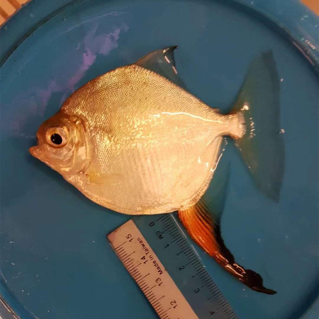 云浮红勾银版鱼
